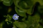 オオイヌノフグリ:野々井;クリックすると大きな写真になります