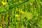 キタキチョウ:檜尾;クリックすると大きな写真になります。