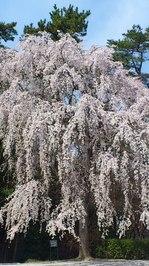 枝垂れ桜:大和文華館;クリックすると大きな写真になります