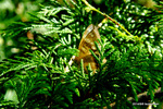 ヒメキマダラヒカゲ:葛温泉;クリックすると大きな写真になります。