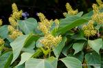 アカメガシワの花;クリックすると大きな写真になります。