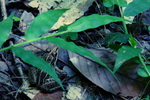 トノサマガエル:堺自然ふるさとの森;クリックすると大きな写真になります。