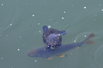 クサガメと鯉:和田川;クリックすると大きな写真になります。
