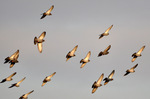 ドバトの集団飛翔;クリックすると大きな写真になります