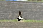 ツバメの飛翔;クリックすると大きな写真になります