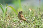 ホオジロの幼鳥;クリックすると大きな写真になります