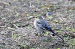 ハクセキレイ幼鳥;クリックすると大きな写真になります