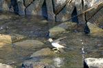 コチドリ幼鳥;クリックすると大きな写真になります