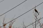 ヒヨドリとカワラヒワ;クリックすると大きな写真になります
