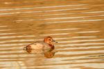 ホシハジロ♀:松池;クリックすると大きな写真になります