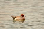 ヒドリガモ♂:田辺池;クリックすると大きな写真になります