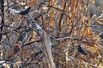 群れのカシラダカ;クリックすると大きな写真になります