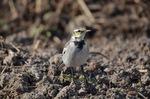 セグロセキレイ幼鳥;クリックすると大きな写真になります
