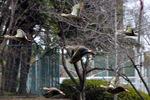 カルガモの飛翔;クリックすると大きな写真になります