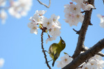 桜にメジロ;クリックすると大きな写真になります