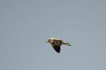 鋭く啼きながら飛ぶケリ;クリックすると大きな写真になります
