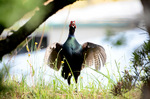 羽を広げたキジ♂;クリックすると大きな写真になります