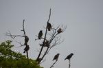 ムクドリの群れ;クリックすると大きな写真になります