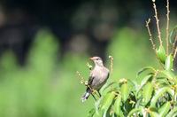ムクドリ幼鳥;クリックすると大きな写真になります