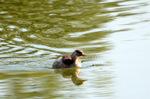 ノカイツブリ:尾美濃池;クリックすると大きな写真になります