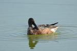 ハシビロガモ 第一回冬羽:尾美濃池;クリックすると大きな写真になります