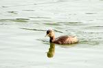 カイツブリ:尾美濃池;クリックすると大きな写真になります