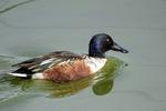 ハシビロガモ♂:尾美濃池;クリックすると大きな写真になります