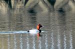 ホシハジロ:尾美濃池;クリックすると大きな写真になります