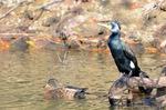 カワウとマガモ♀:松池;クリックすると大きな写真になります