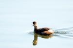 カイツブリ:狭山池;クリックすると大きな写真になります