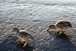 コガモ♀:狭山池;クリックすると大きな写真になります