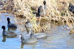 オオバン:狭山池;クリックすると大きな写真になります