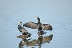 羽を乾かすカワウ:狭山池;クリックすると大きな写真になります