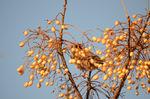 センダンの実に隠れるムクドリ:檜尾;クリックすると大きな写真になります