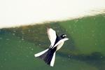 セグロセキレイのジャンプ:和田川;クリックすると大きな写真になります