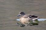 ヨシガモ♀:鴨谷池;クリックすると大きな写真になります