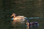 オカヨシガモ:鴨谷池;クリックすると大きな写真になります