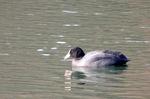 オオバン:鴨谷池;クリックすると大きな写真になります
