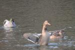 マガモ♀:鴨谷池;クリックすると大きな写真になります