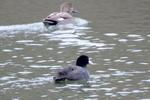 オオバン(後ろはオカヨシガモ):鴨谷池;クリックすると大きな写真になります