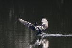 カワウ:鴨谷池;クリックすると大きな写真になります