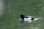 キンクロハジロ:尾美濃池;クリックすると大きな写真になります