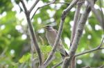 ムクドリ幼鳥:野々井;クリックすると大きな写真になります