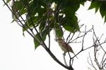 オオヨシキリ:野々井