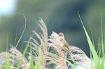 オオヨシキリ:野々井;クリックすると大きな写真になります
