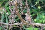 キジバト幼鳥:鉢ヶ峯;クリックすると大きな写真になります