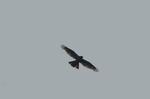 深田池上空を飛ぶトビ:松尾寺;クリックすると大きな写真になります。、
