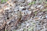 ホオジロ幼鳥:松尾寺地区;クリックすると大きな写真になります。