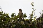 ホオジロ幼鳥:鉢ヶ峯;クリックすると大きな写真になります。