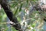 コゲラ:堺自然ふるさとの森;クリックすると大きな写真になります。